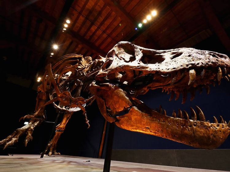 A general view the skull, jaw and teeth of Trix the female T-Rex exhibition at the Naturalis or Natural History Museum of Leiden on October 17, 2016 in Leiden, Netherlands