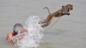 Ramu, a pet monkey, jumps as his handler bathes in the waters of the Ganges River, on a hot summer day, in Kolkata, India