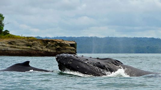 A Humpback whale (R) and her baby (L) off the coast of Colombia