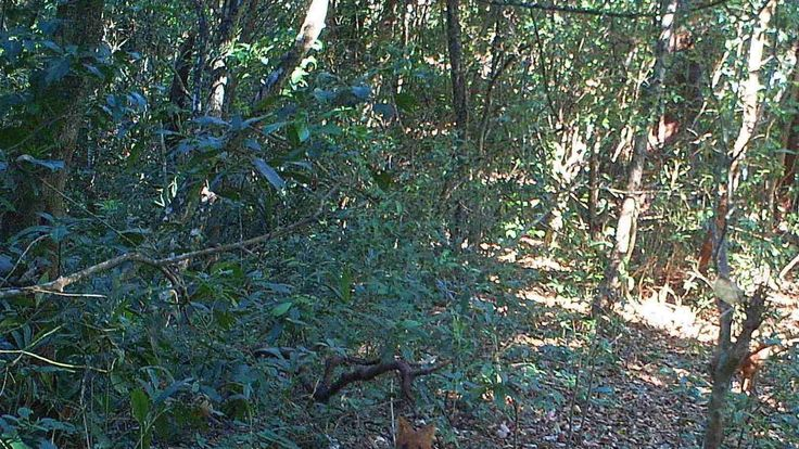 A group of dholes, Asiatic wild dogs, in the hill forests of Northern Karen State