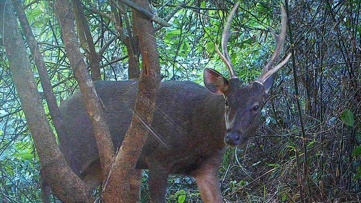 A sambar in the hill forests of Northern Karen State