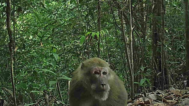 Assam macaques in the hill forests of Northern Karen State