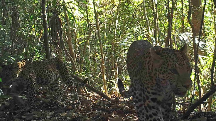 Leopards in the hill forests of Northern Karen State