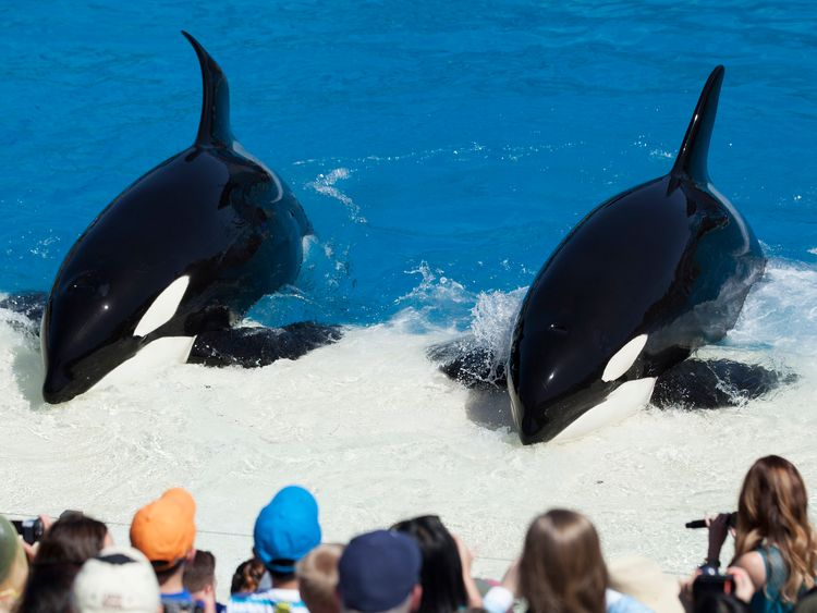 """Trainers have Orca killer whales perform for the crowd during a show at the animal theme park SeaWorld in San Diego, California March 19, 2014. A California lawmaker introduced a bill to ban live performances and captive breeding of killer whales in the state, a measure that would force the SeaWorld San Diego marine theme park to end is popular """"Shamu"""" shows."""
