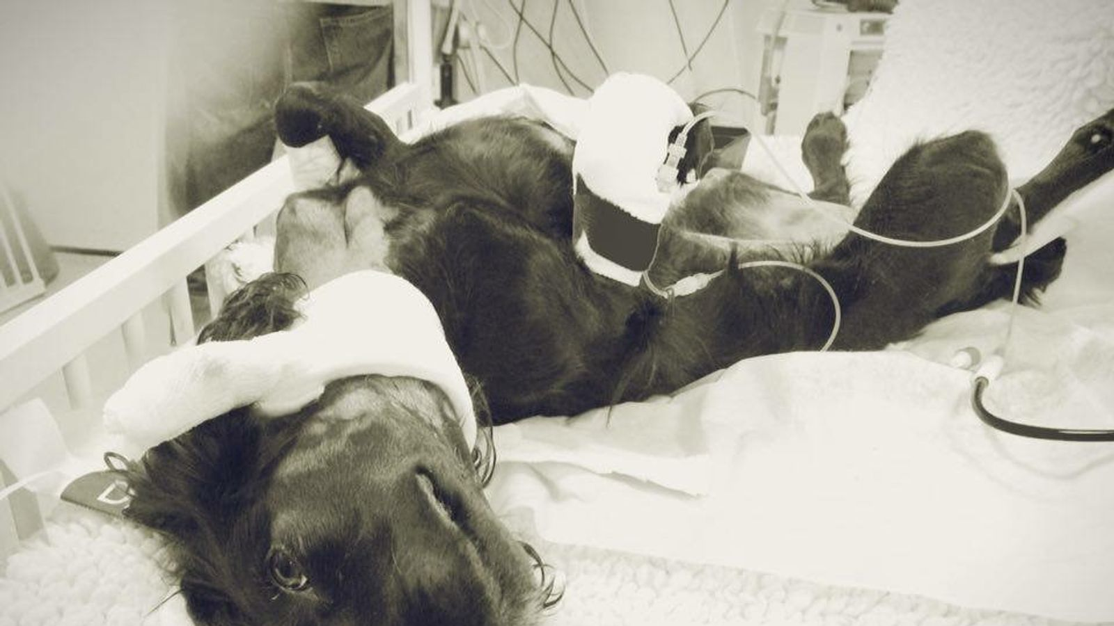 Pippa receives treatment for Alabama rot, which killed her not long afterwards. Pic: Jessica Worthington