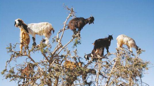 Goats graze on an argan tree in southwestern Morocco. Pic: H Garrido/EBD-CSIC