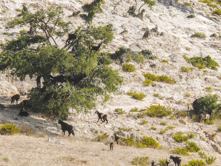 In some arid habitats, such as argan forests, most green vegetation is on the tops of trees and goats climb there to feed. Pic: J Román/EBD-CSIC