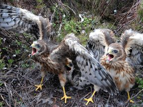 Rare one month old Hen Harrier chicks which have been fitted with Remote Satellite receivers.