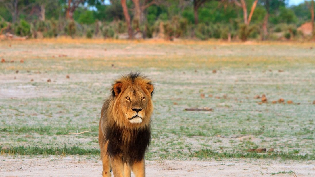 Cecil the Lion's Son Xanda Killed by Trophy Hunters in Zimbabwe