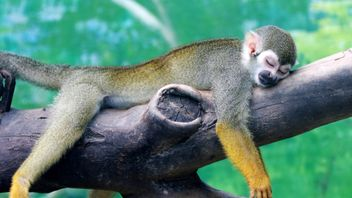 A squirrel monkey rests on a tree branch on a hot day at a zoo in Zhengzhou, Henan province, China