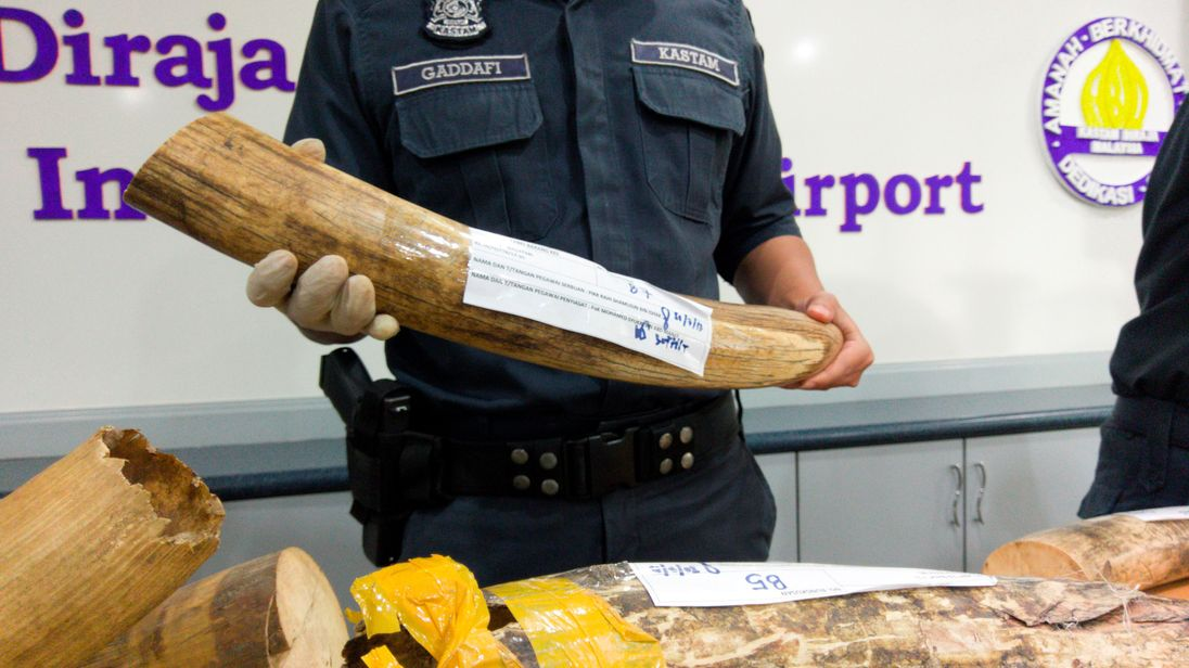 Malaysia customs officers display ivory tusks seized over the weekend during a news conference at the airport in Sepang, Malaysia