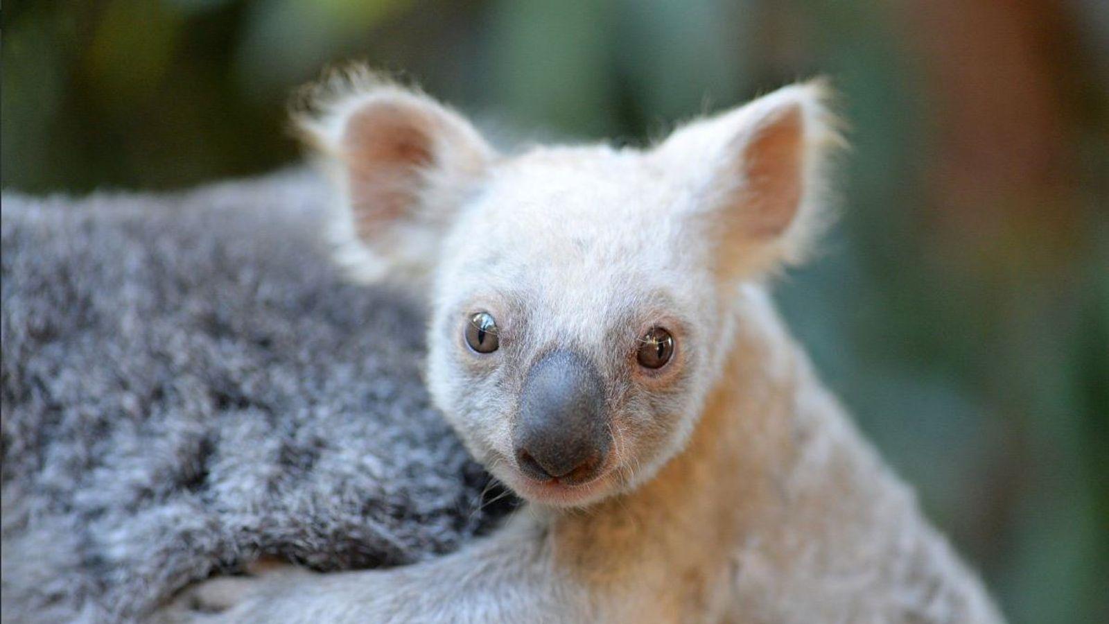 Rare white baby koala born at Australia Zoo is looking for ...
