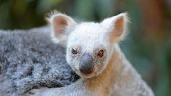 A rare white baby koala