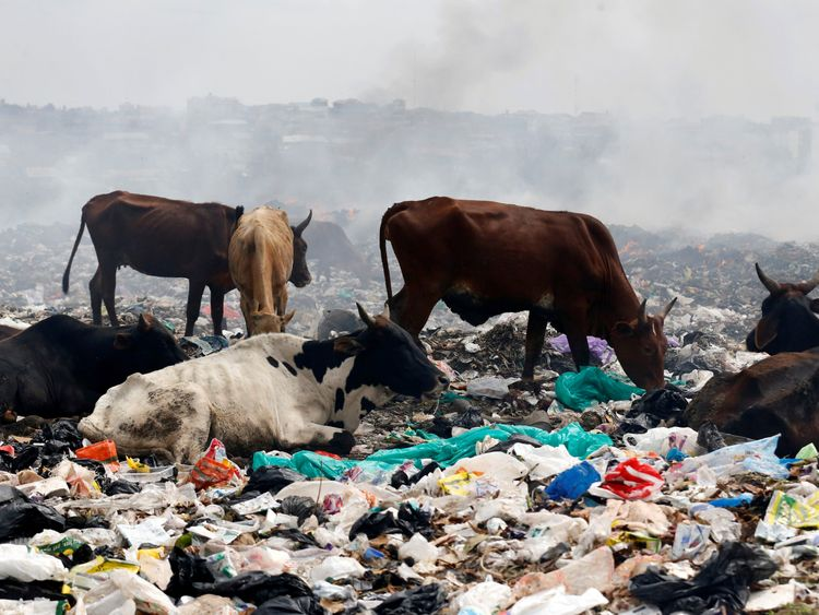 Livestock scavenge for pasture within recyclable plastic materials at the Dandora dumping site on the outskirts of Nairobi, Kenya August 25, 2017. Picture taken August 25, 2017. REUTERS/Thomas Mukoya