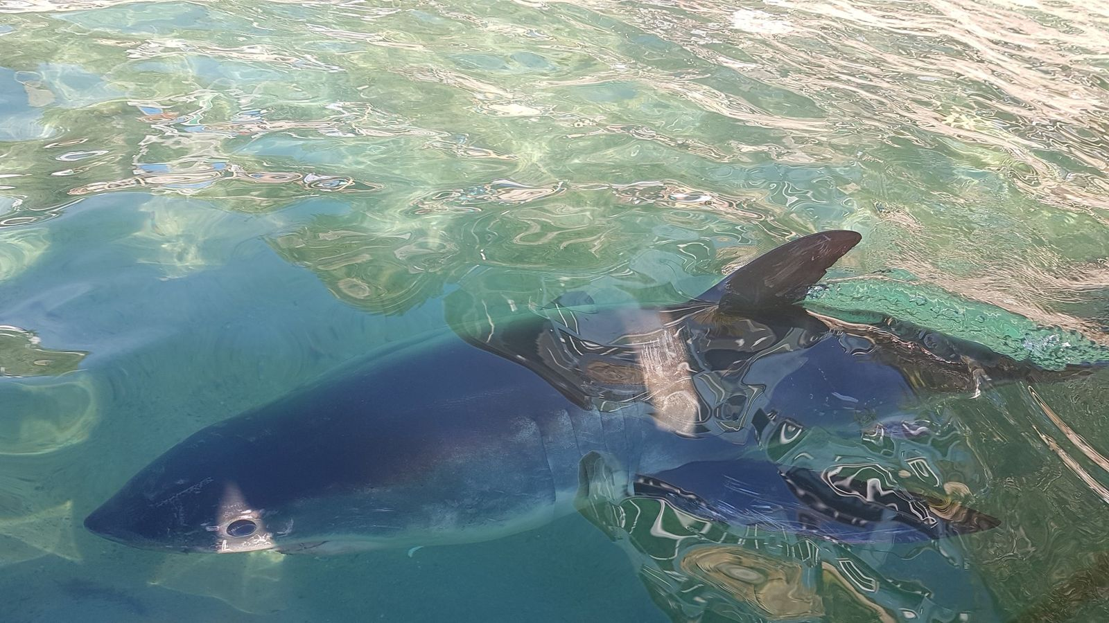 Stranded great white shark 'Fluffy' returned to sea after ...