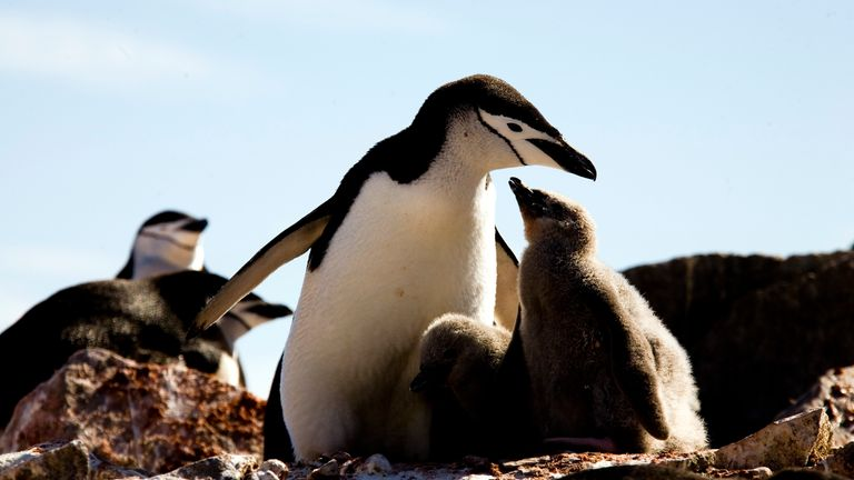Chinstrap penguin numbers have seen a significant decline