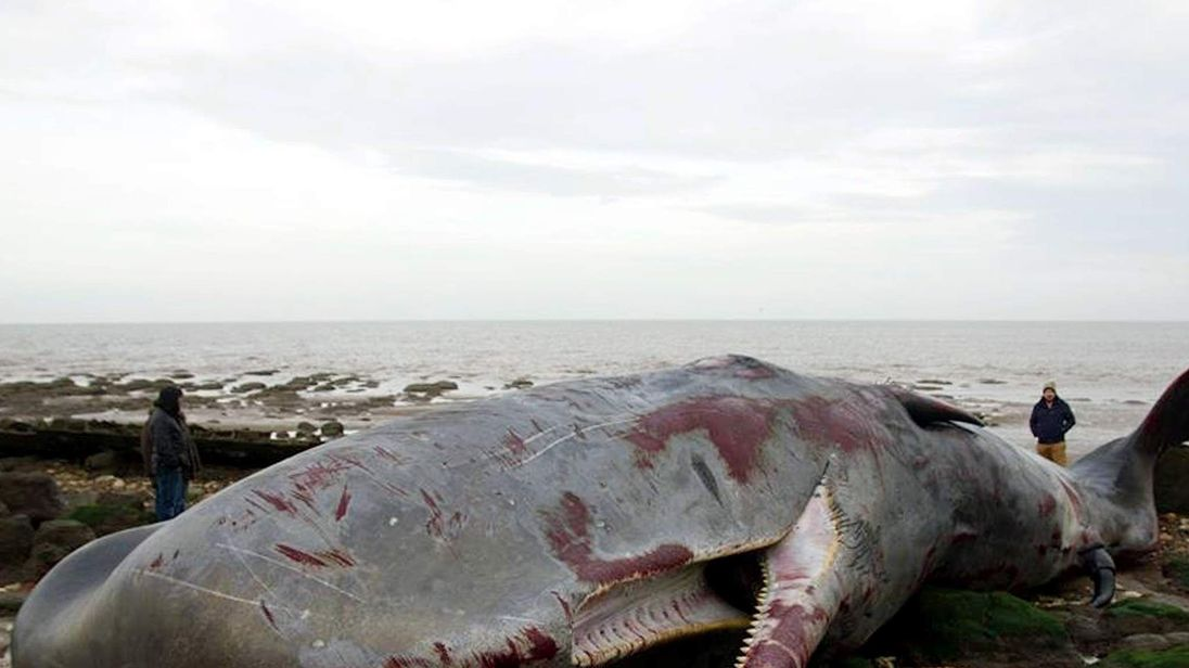 50ft sperm whale beached in Norfolk.
