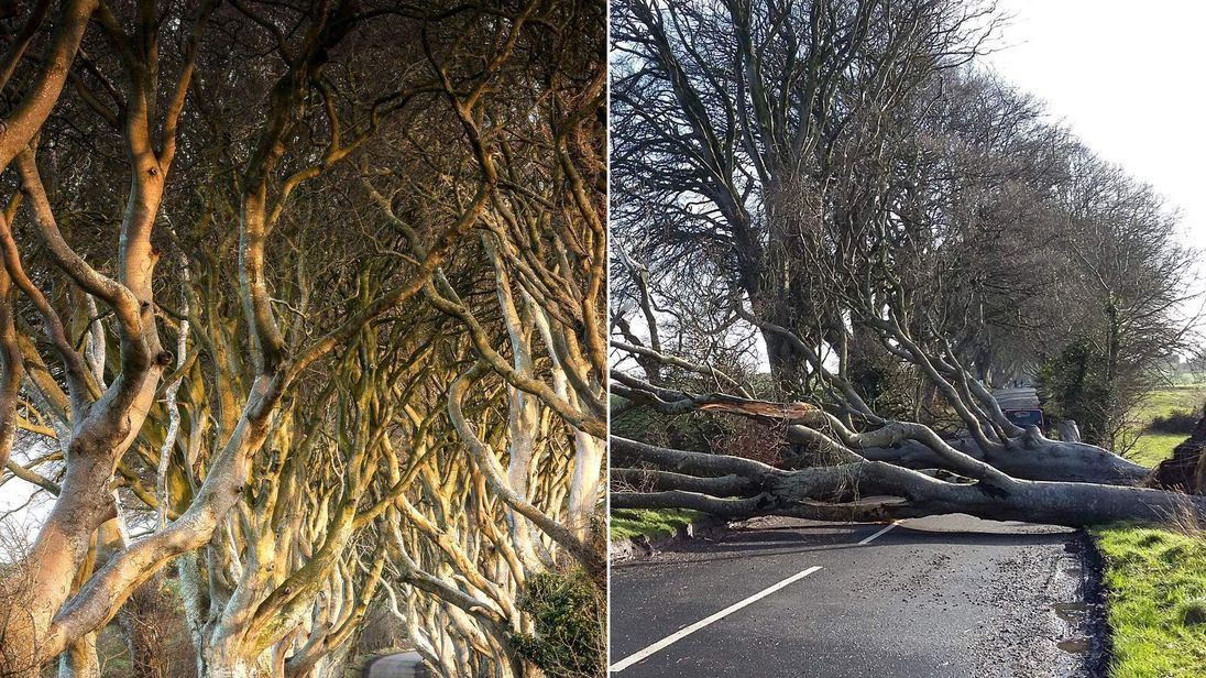 200-year-old Dark Hedges trees uprooted