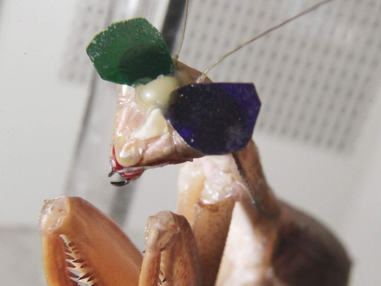 Close up of the praying mantis with spectacles