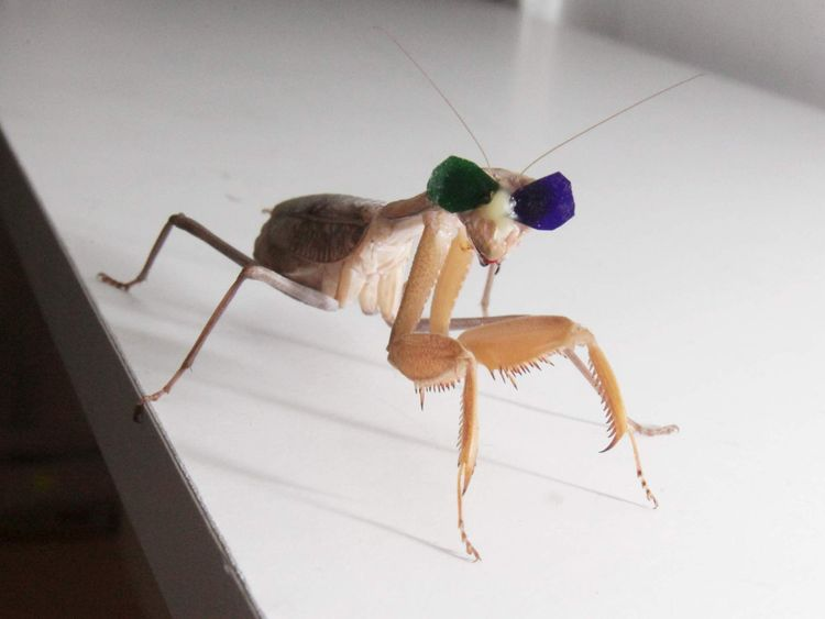 A praying mantis wearing green and purple glasses