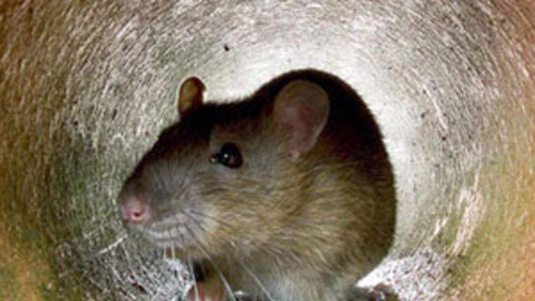 Generic rat