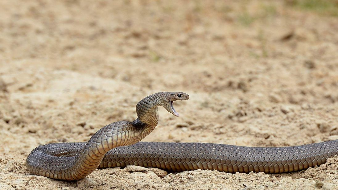 A deadly Australian brown snake
