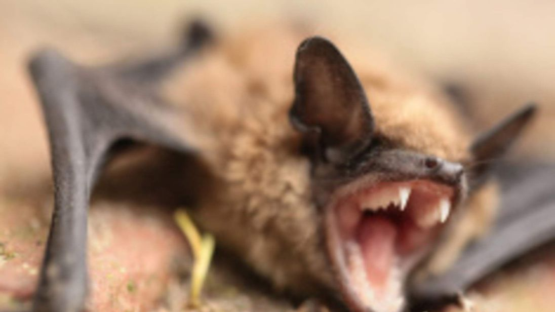 A bat on the ground with its mouth open