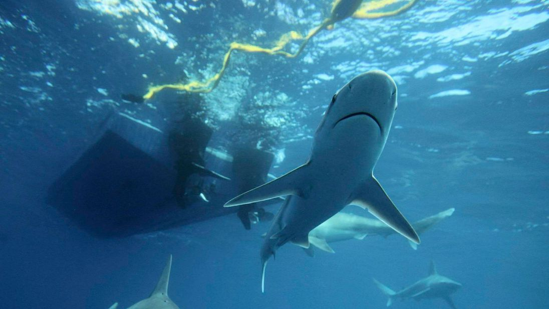 Sandbar sharks swim around during a cageless shark dive tour in Haleiwa, Hawaii