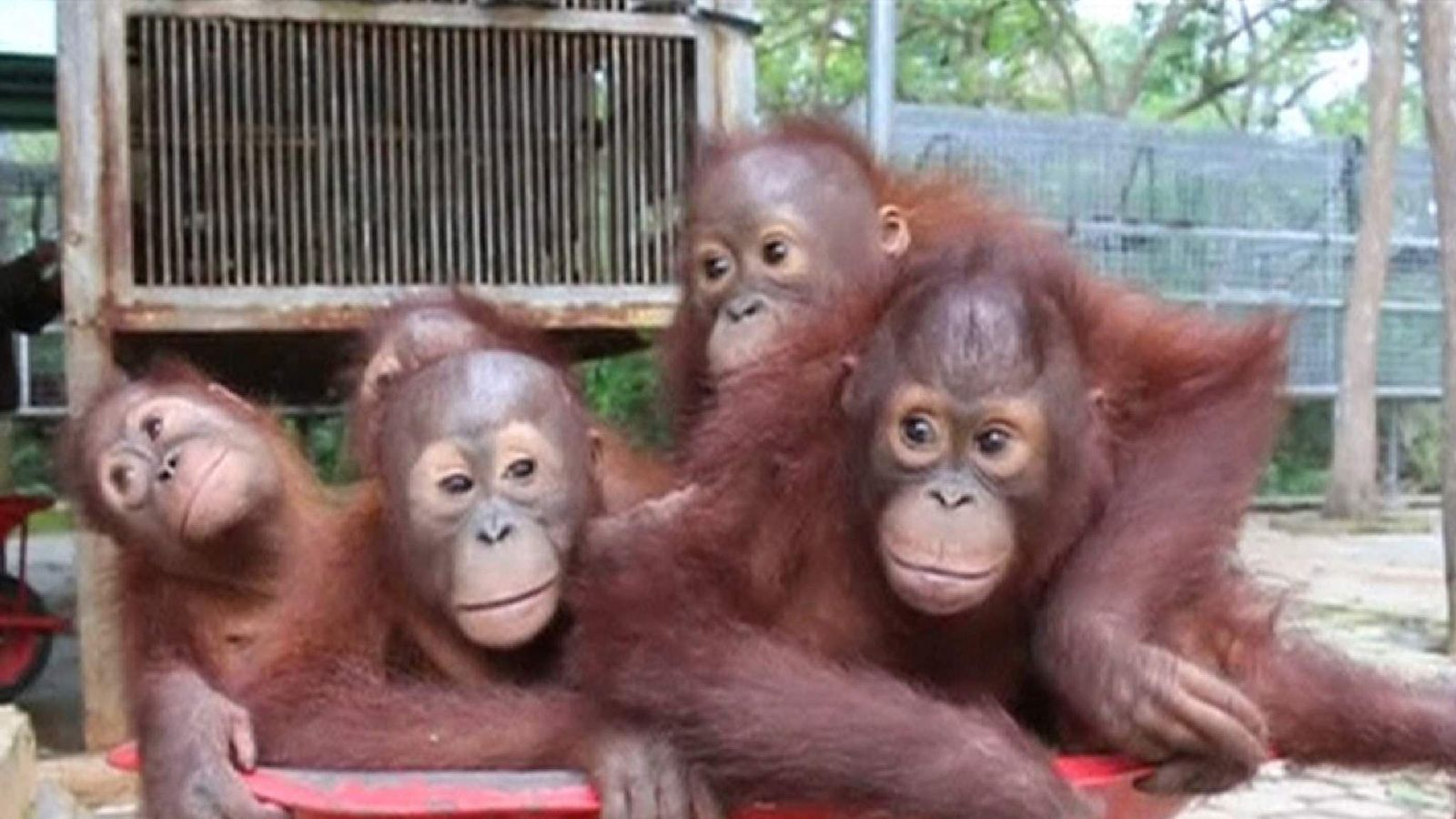 Young Orangutans Get Wheeled To Forest School World News Sky News
