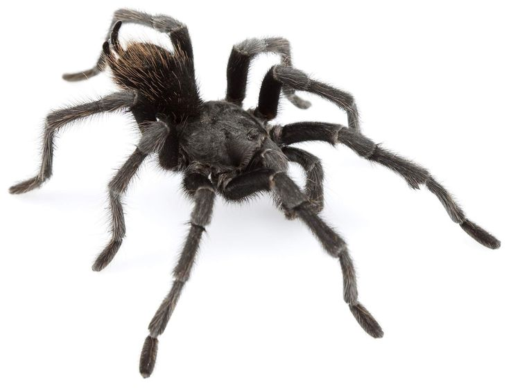 New Tarantula Named After Jonny Cash