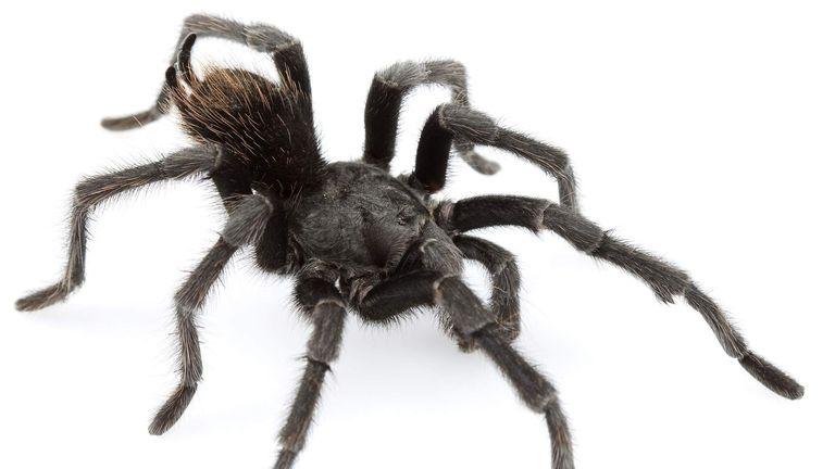 New Tarantula Named After Jonny Cash