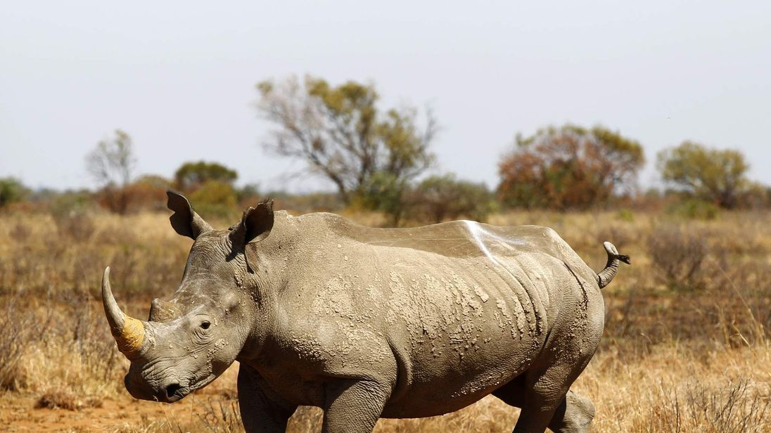 An eight year old Rhino walks after being inserted with a GPS device to keep track of its movements and attempts at poaching, at the Mafikeng Game Reserve