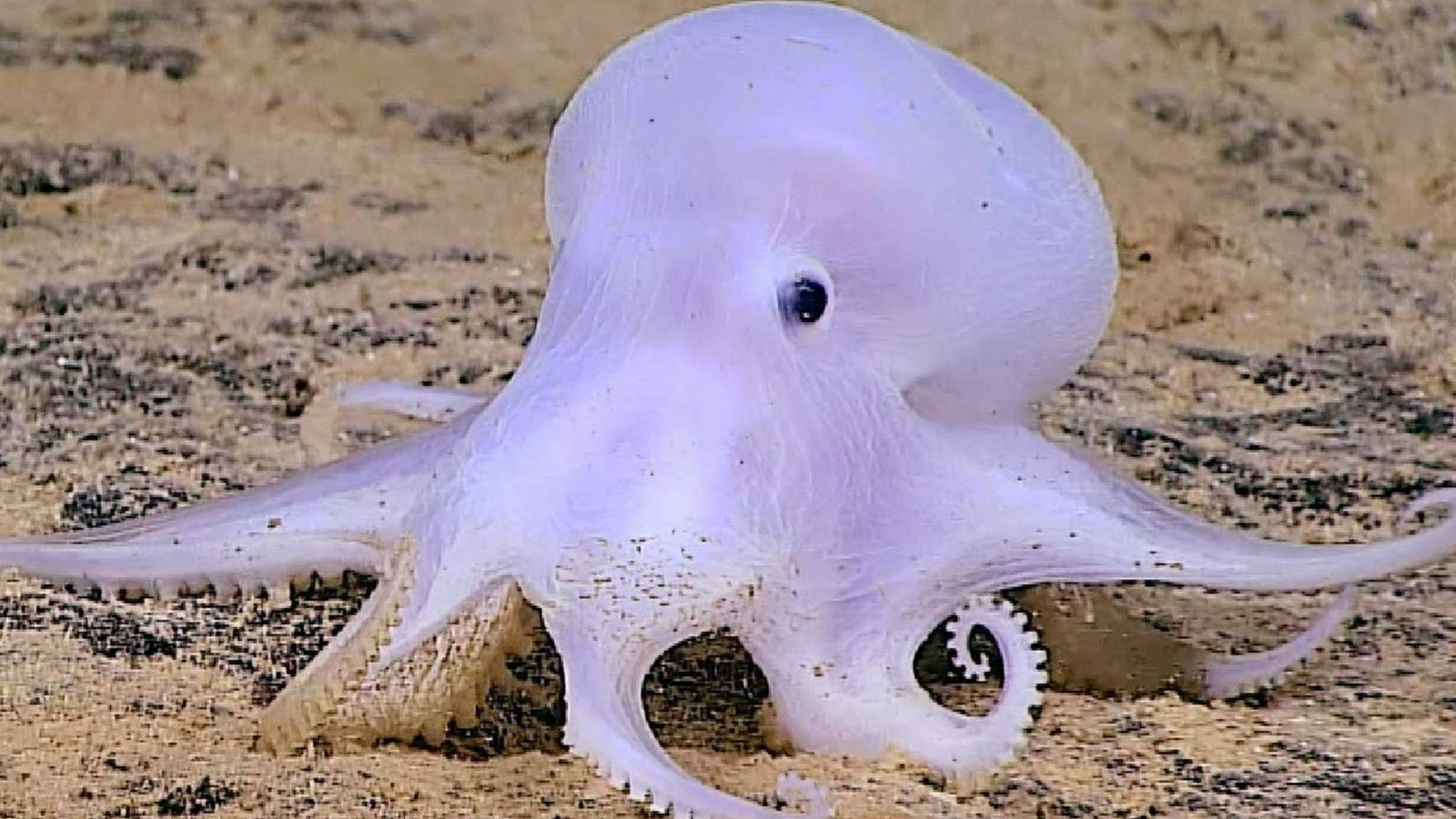Ghost Octopus Discovered 13 500ft Under Sea World News