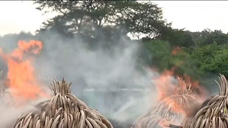 Tons Of Ivory Being Torched To Damage The Trade