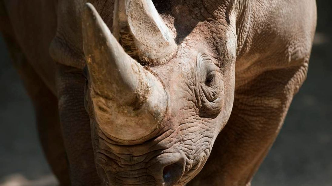 A black rhinoceros stands in its enclosu