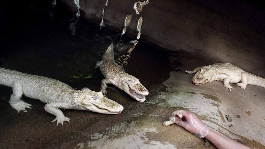 A person feeds white albino alligators in France on April 12, 2012.