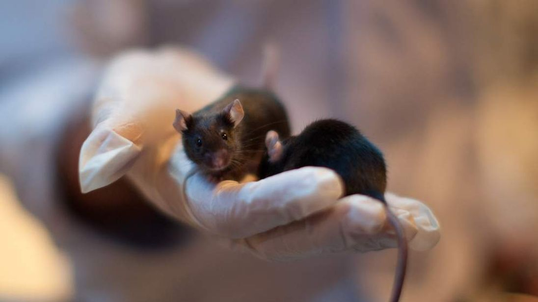 Mice Used To Detect Bombs And Drugs