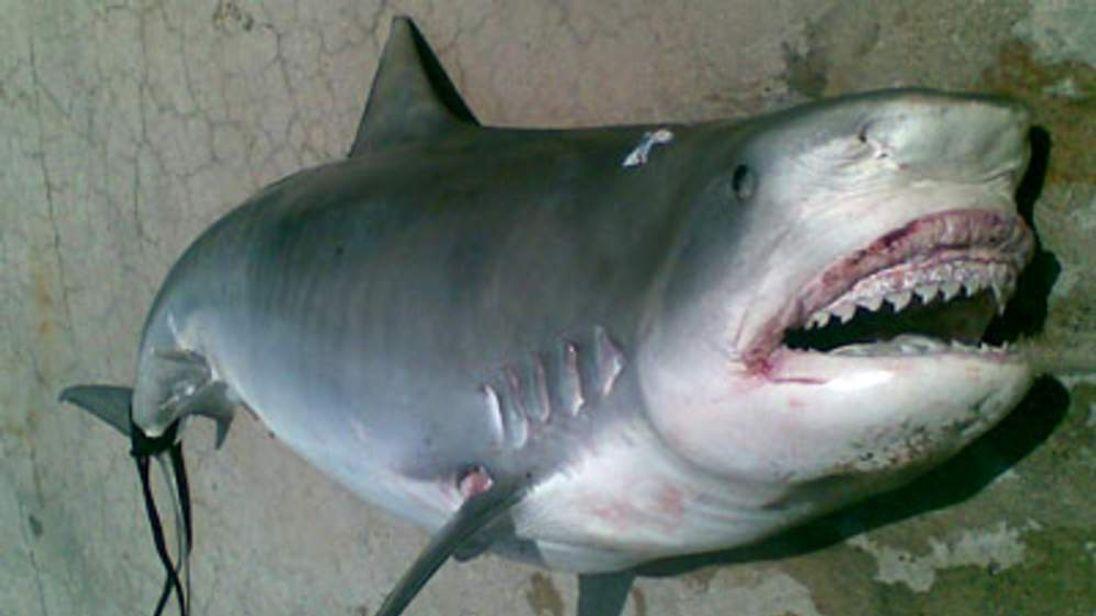 Human Body Parts Found Inside Tiger Shark