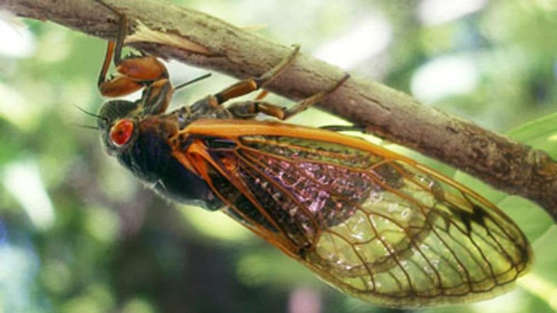 A mature cicada dries its wings on a tree branch.