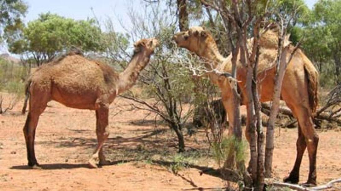 Camels graze in the Australian outback