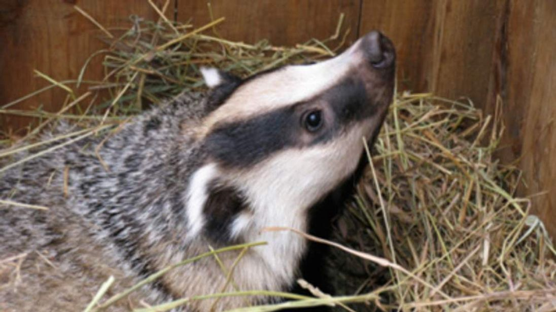 Badgers pose a TB risk to cattle.