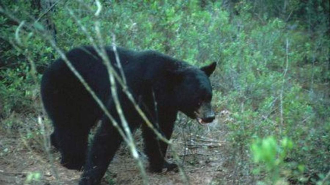 Over 200 bears killed in florida as hunt allowed for Florida fish and wildlife commission