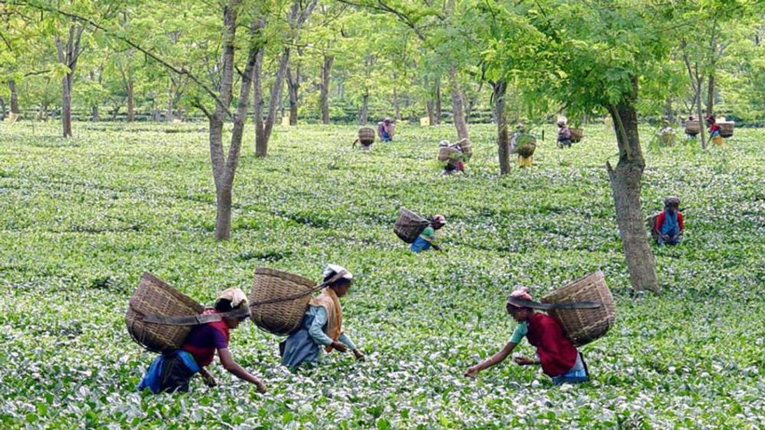 Assam tea plantation