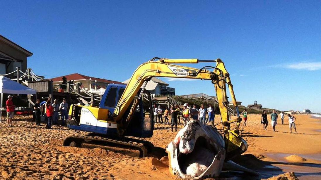 North Atlantic Right Whale Washes Up On Florida Beach