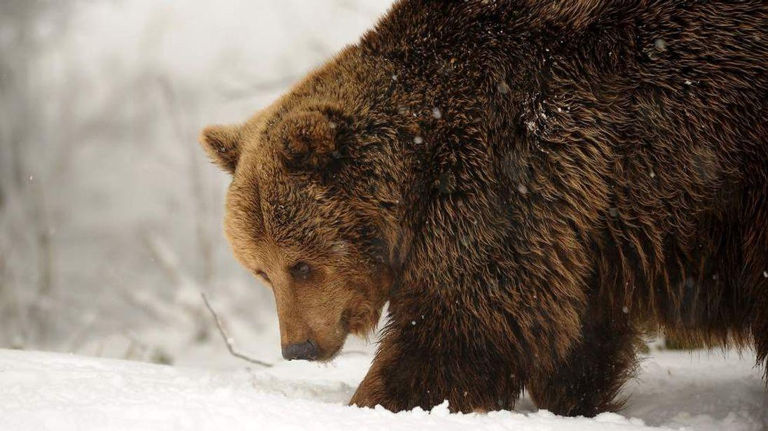 A European Brown bear makes its way through the snow