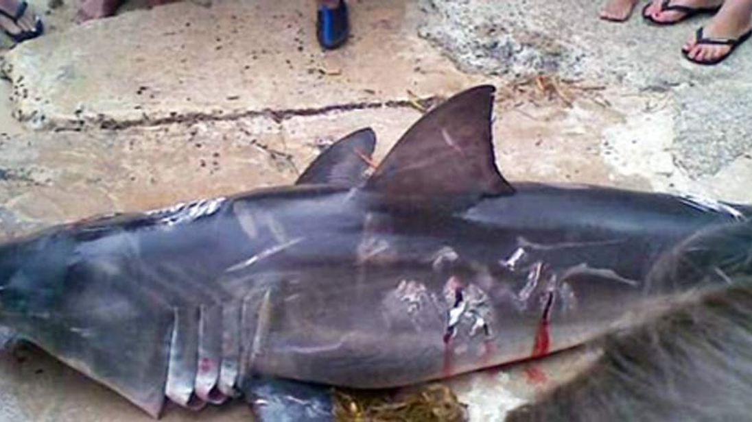 Baby great white shark beaten to death by Sydney fisherman