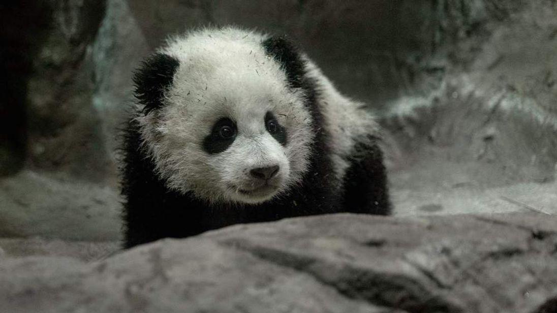 Panda Cub Bao Bao Makes Her Debut At Washington's National Zoo