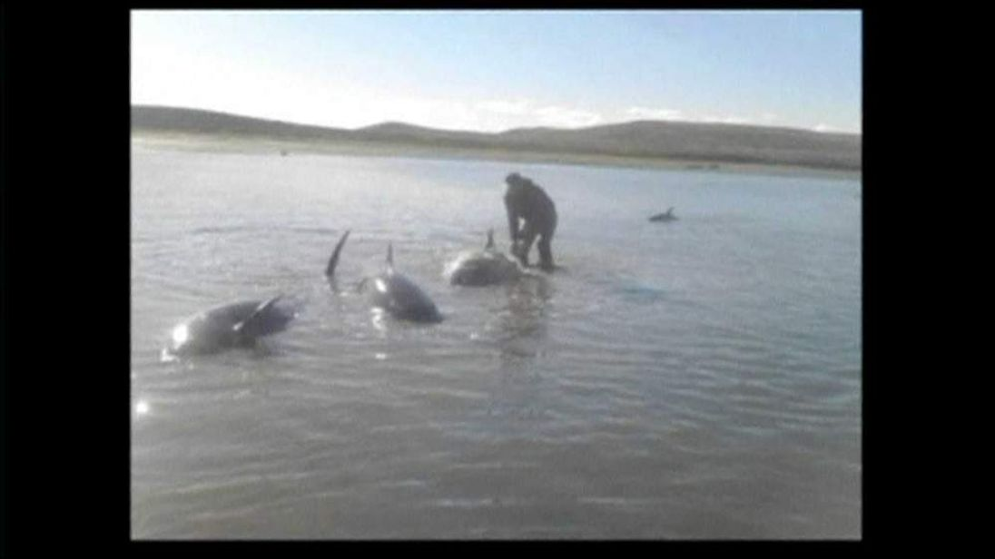Pilot Whales Beached