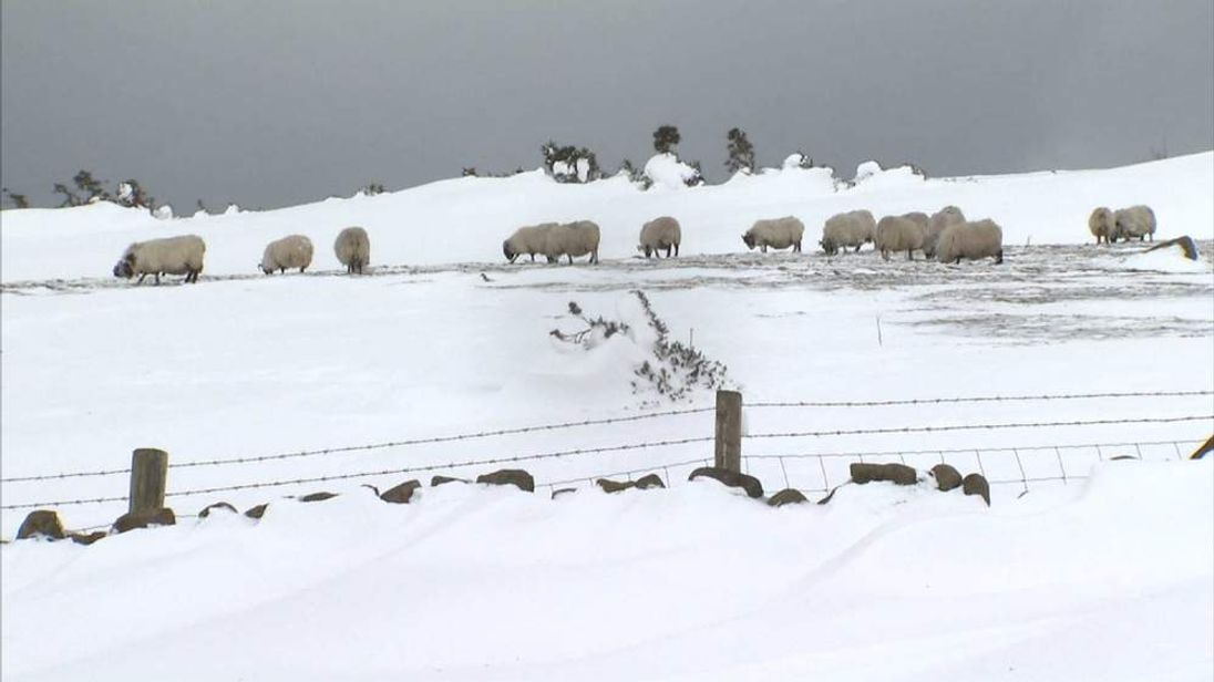 Sheep in Antrim, Northern Ireland