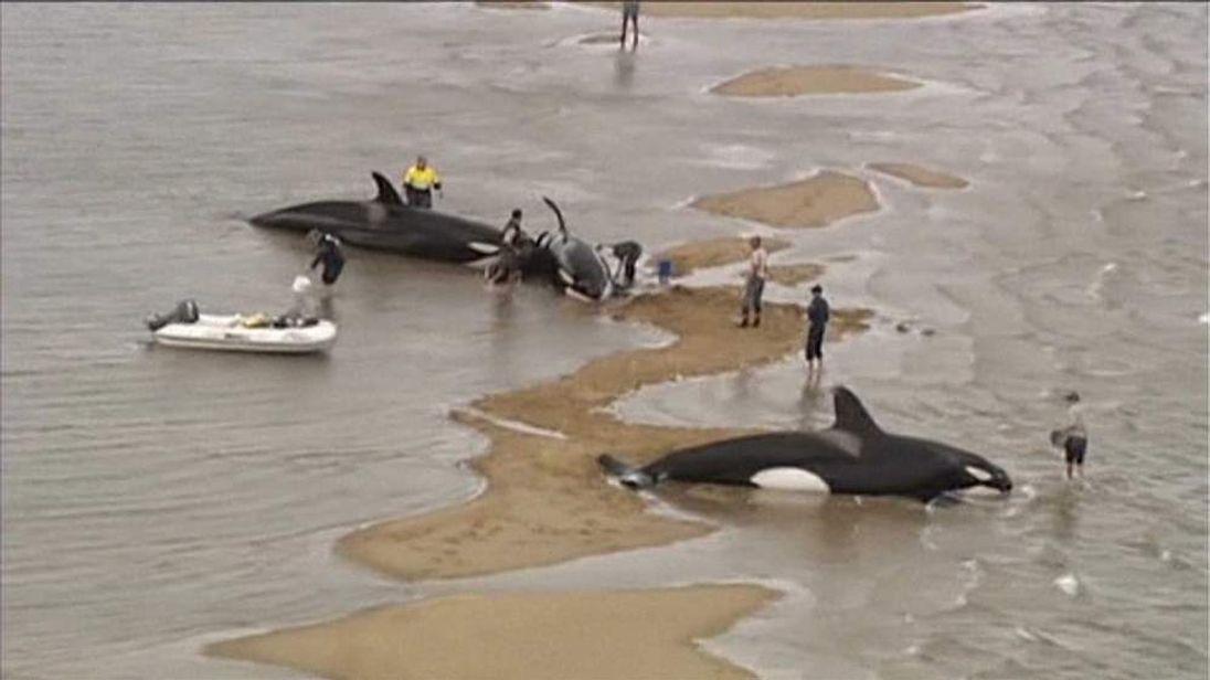 Killer whales stranded off Fraser Island.